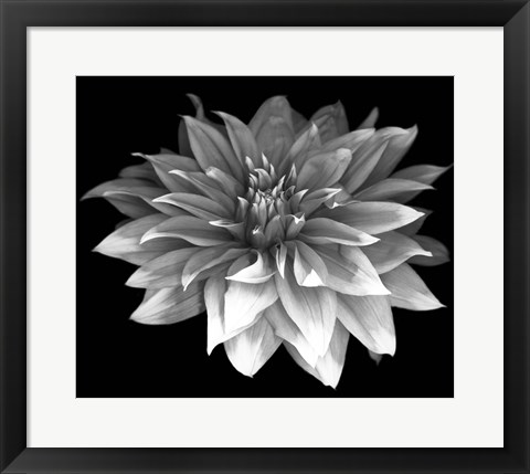 Framed Perfect Dahlia 1 Print