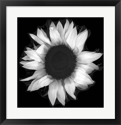 Framed Sunflower 1 Print