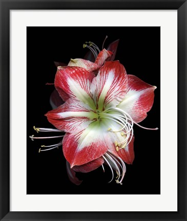 Framed Winter Amaryllis Print