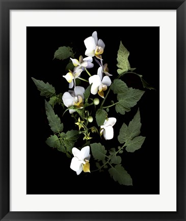Framed Orchid With Cherry Tomato Print