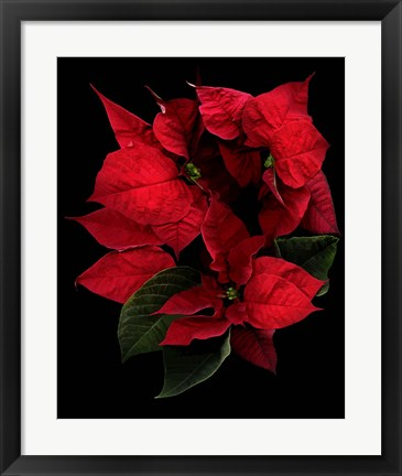 Framed Poinsettia 2014 Print