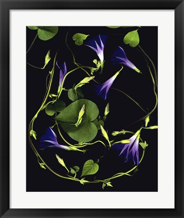 Framed Morning Glory Print