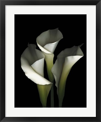 Framed White Calla 1 Print