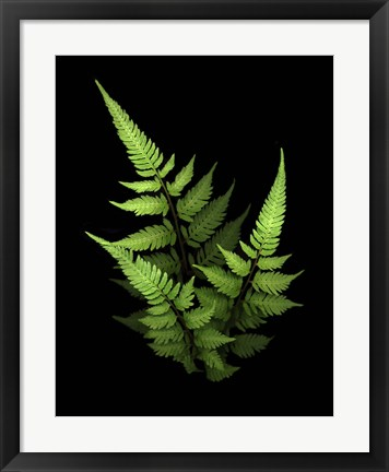 Framed 3 Ferns Print