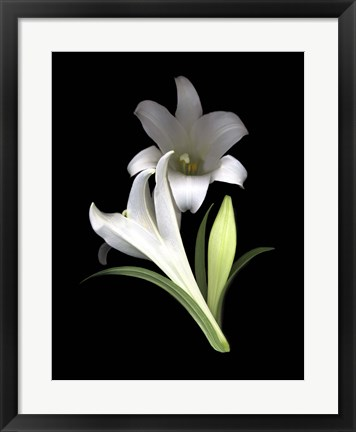 Framed Easter Lilies 3 Print