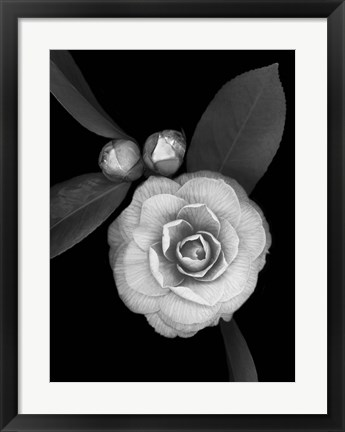 Framed Camellia with Buds Print