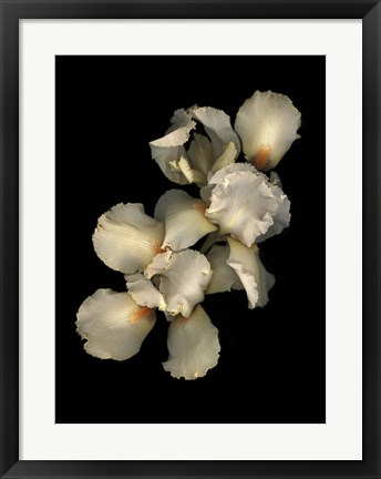 Framed Peach Iris Print