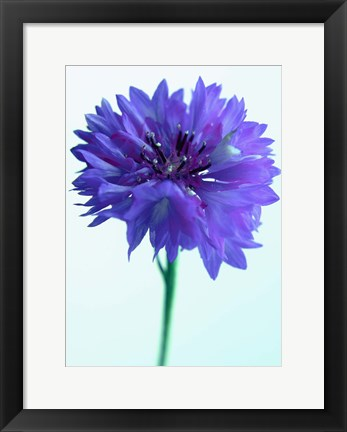 Framed Lilac Delight Print