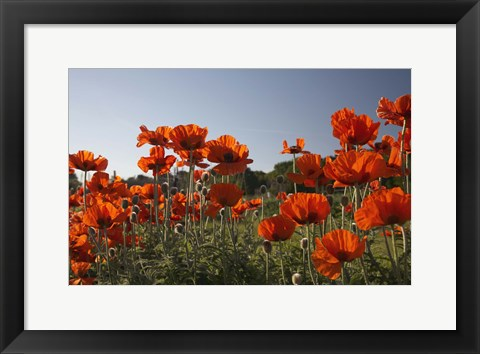 Framed Field of Red Print