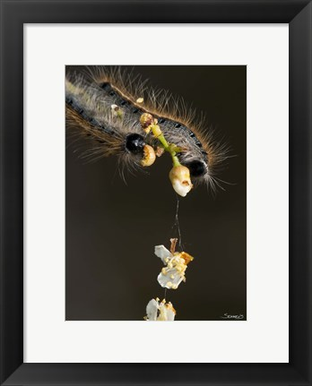 Framed Catepillar On White Flower Buds Print