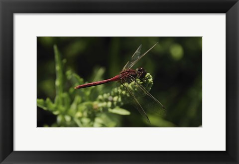 Framed Shades Of Nature Red Dragonfly Print