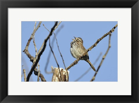 Framed Singing Bird On Branch Print
