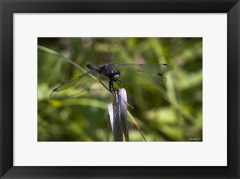 Framed Dragonfly Perched On Blade Print