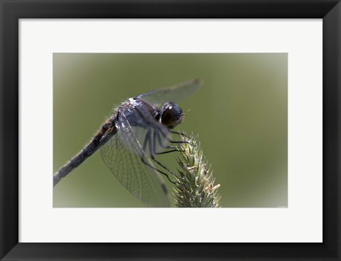Framed Dragonfly Landing On Flower Print