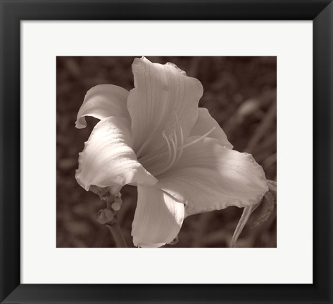 Framed Sepia Flower 1 Print