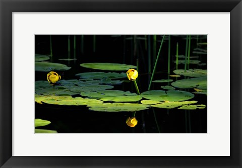 Framed Shades Of Nature Yellow Water Lily I Print