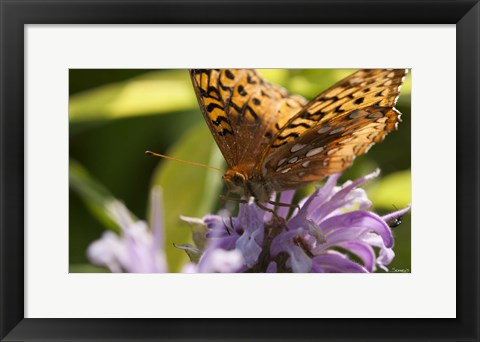 Framed Orang Butterfly On Purple Wildflower Closeup Print