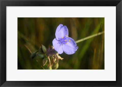 Framed Shades Of Nature Purple Bloom And Buds Print