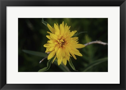 Framed Shades Of Nature Yellow Flower On Branch Print