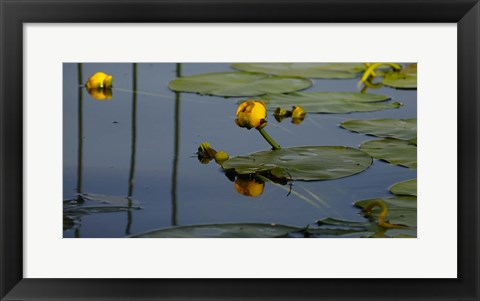 Framed Shades Of Nature Yellow Water Lily II Print