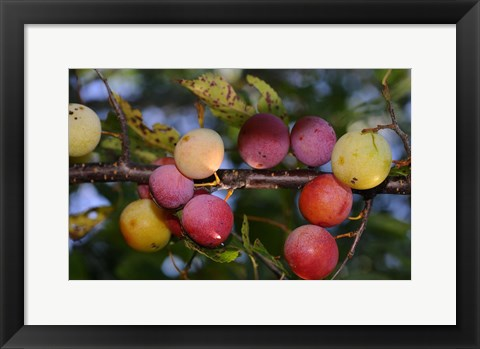 Framed Shades Of Nature Fruits On Tree Print