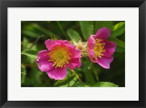 Framed Shades Of Nature Pink And Yellow Bloom Print