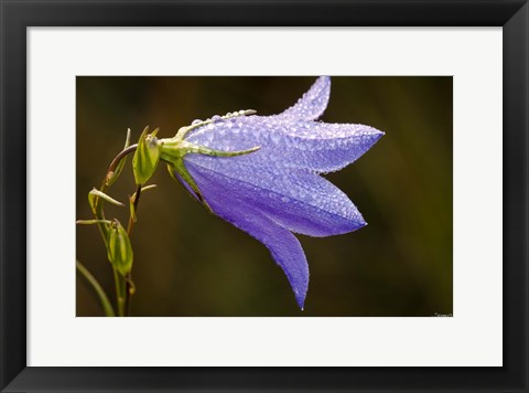 Framed Purple Wildflower And Dew Print
