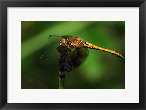 Framed Orange Dragonfly On Stem Print