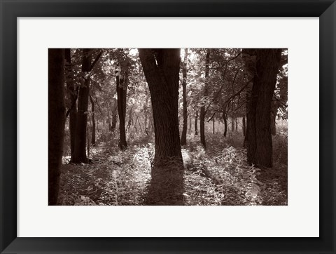 Framed Woods And Sunlight III Print