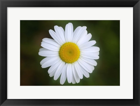 Framed Shades Of Nature White Daisy Print
