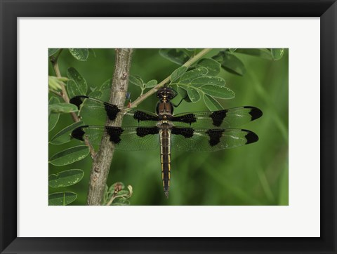 Framed Brown Dragonfly With Black Spotted Wings Print
