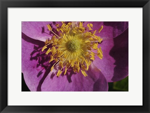 Framed Purple Flower With Yellow Stamen Print