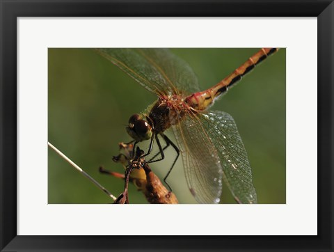 Framed Red And Orange Dragonfly Print