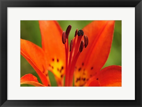 Framed Red Lily Closeup Print