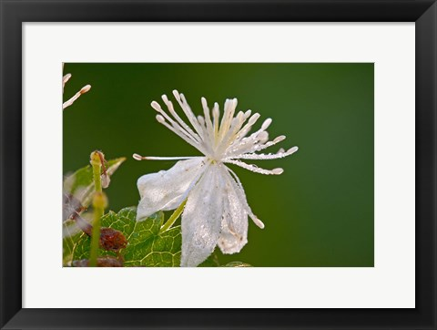 Framed White Flower And Dew Print