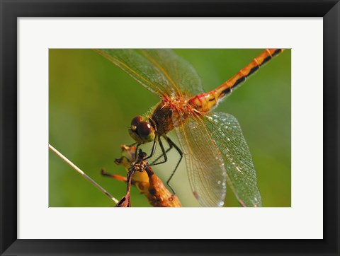Framed Red Dragonfly Perched Print