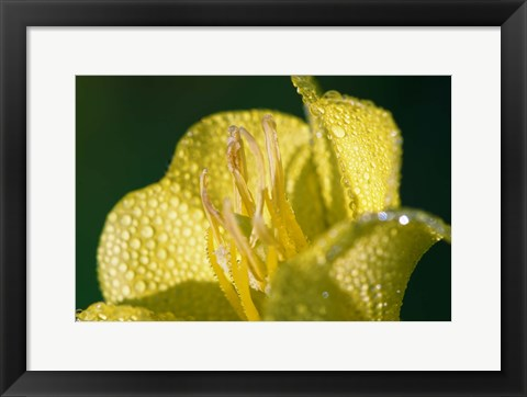Framed Yellow Flower Bloomed With Dew Print