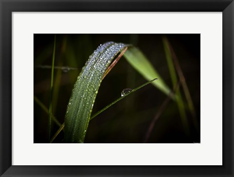Framed Grass Blade Covered With Dew Print