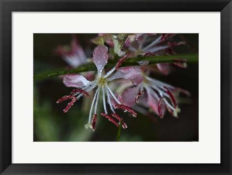 Framed Pink Flowers Covered In Dew Print