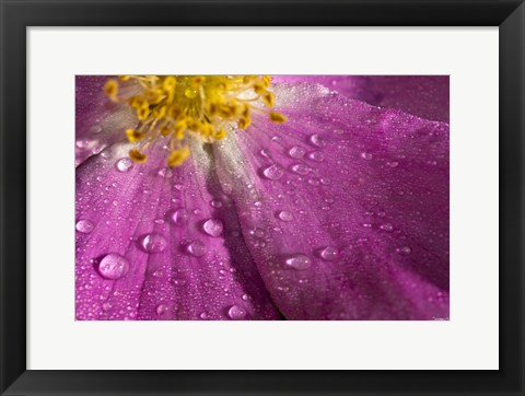 Framed Pink And Yellow Flower With Dew I Print