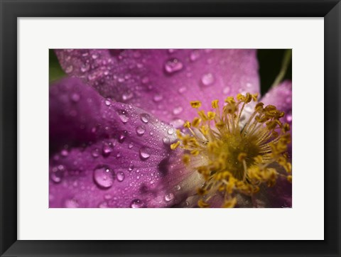 Framed Pink And Yellow Flower With Dew II Print