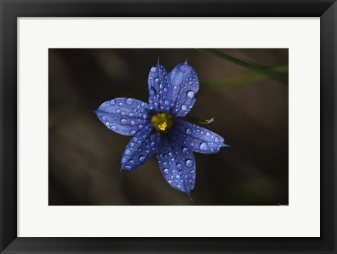 Framed Blue Wildflower With Dew Print