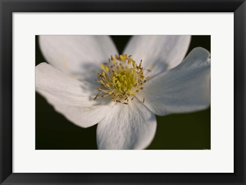 Framed White And Yellow Flower Closeup Print