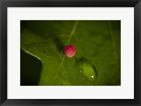 Framed Red Berry On Leaf Print