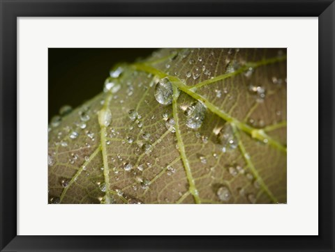 Framed Drops Of Dew On Brown Leaf Print