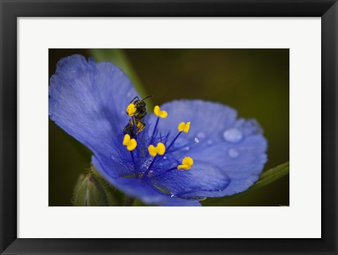 Framed Bee On Blue Flower Print