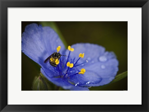 Framed Bee On Blue And Yellow Flower Print