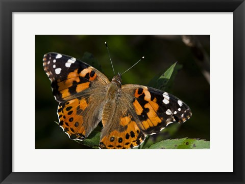 Framed Butterfly With Brown And Black Specks Print