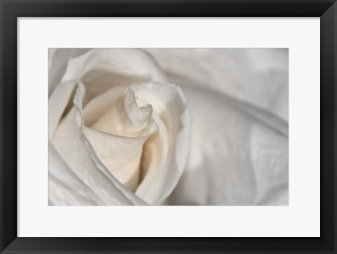 Framed White Rose Closeup Print