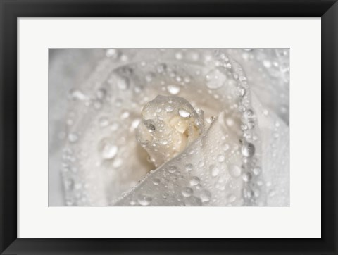 Framed White Rose Closeup With Dew I Print